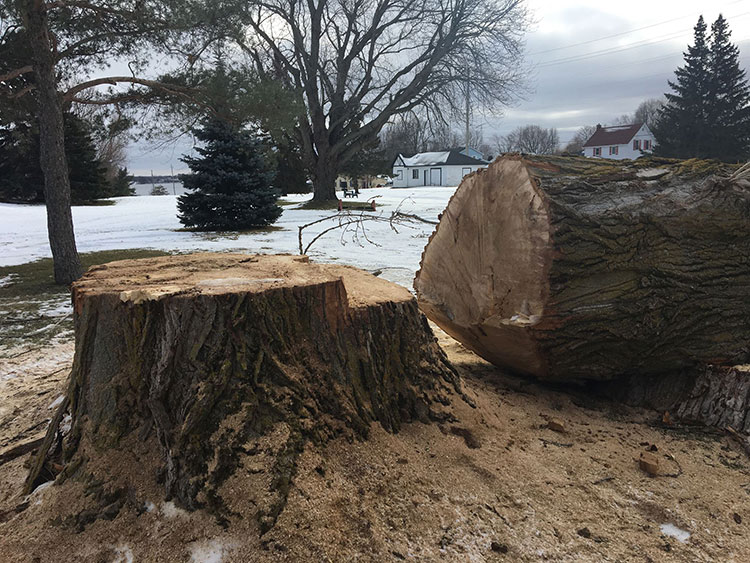 Large tree cut down at the Prescott Golf Club.